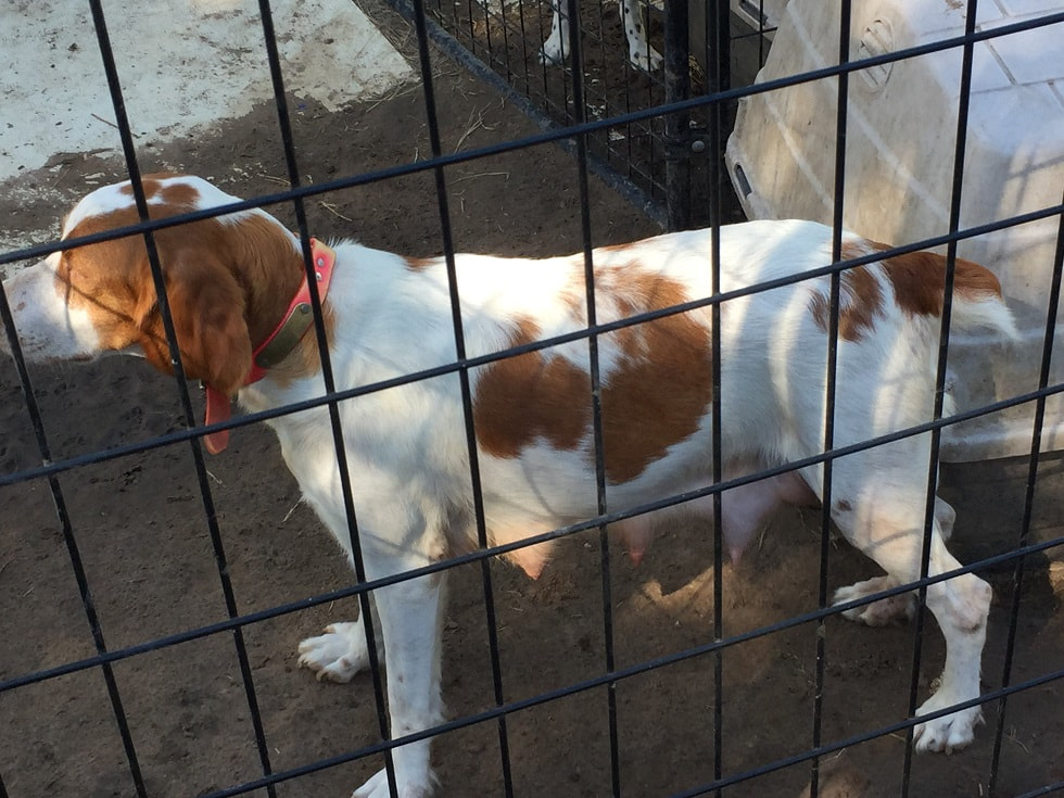 Kelley Ridge Kennels Home Page Brittany Llewellin Setters